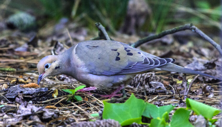 The Doves Are Back —