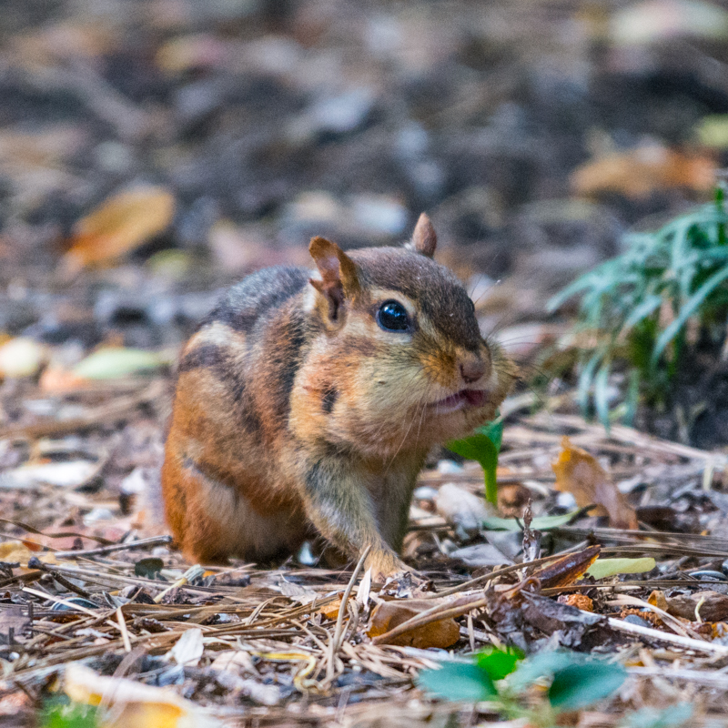 Good thing a chipmunk has a nose