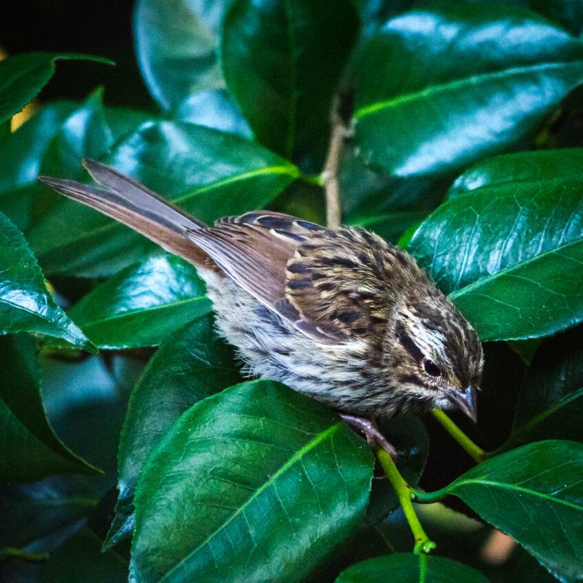 House Sparrow —