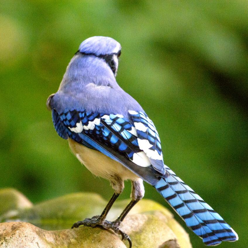 Unruffled Feathers —